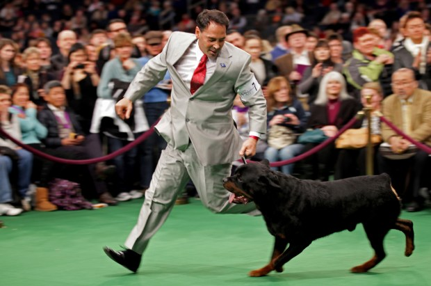 In this Feb. 14, 2012 photo, Perry Payson, of Bixby, Okla., handles Pilot, a Rottweiler during at the 136th annual Westminster Kennel Club dog show in New York. Rottweilers own the No. 8 most popular breed spot of 2016 according to the American Kennel Club. (AP Photo/Craig Ruttle, File)