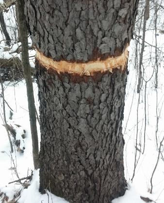Dakota County officials say a vandal or vandals removed bark from this tree and as many as six trees in an area of Lebanon Hills Regional Park in Eagan, photographed on Monday, March 20, 2017. Courtesy of Minnesota Off-Road Cyclists.