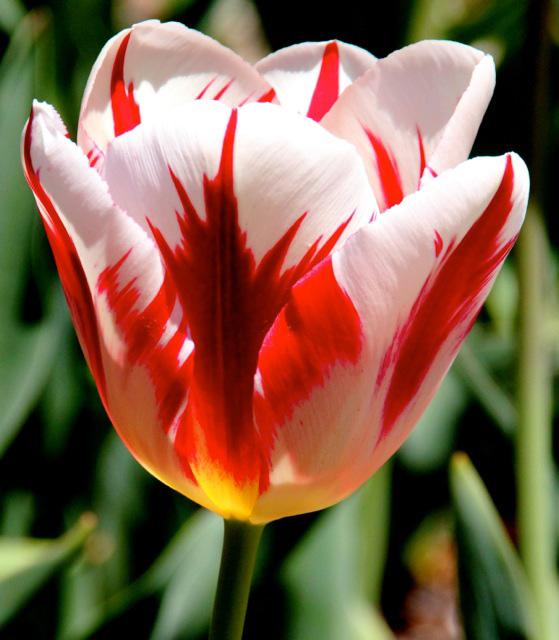 170409bbcut-tulip1