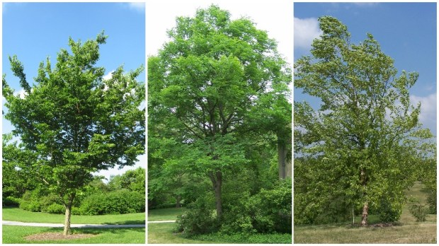 A hackberry tree, left, Kentucky coffeetree, center, and river birch, right. All three are among the species St. Paul is planting along boulevards in spring of 2017. (Creative Commons photos)