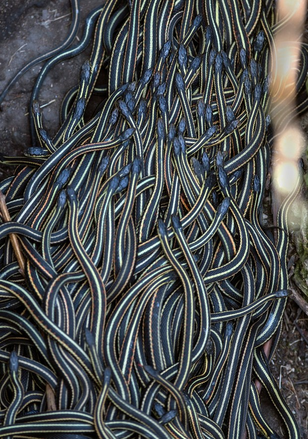 Thousands of red-sided garter snakes emerge from the limestone caves that shelter them from the harsh winters to mate with females before going out to eat their first meal. The largest snakes dens are near Narcisse, MB. (Joshua Komer / Forum News Service)