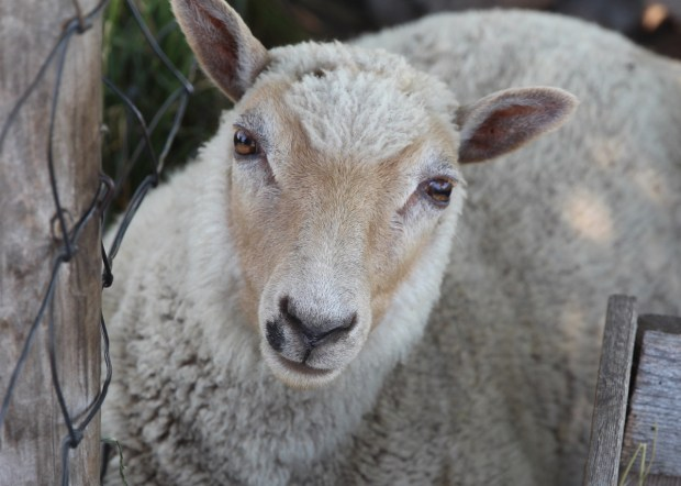 Gibbs Farm sheep are ready for a new season of visitors. (Jen Strom)