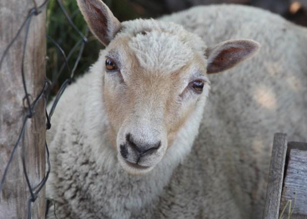 Gibbs Farm sheep are ready for a new season of visitors. (Jen Strom)