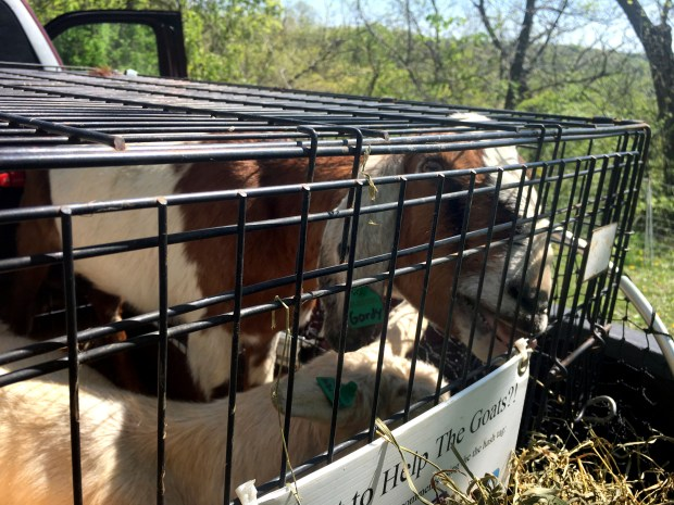 Gordy the goat is seen at Indian Mounds Regional Park on Friday, May 5, 2017, after being stolen from the park and returned a short time later by police. (Courtesy of the St. Paul Police Department)