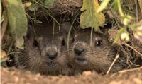 Woodchucks, also known as groundhogs or whistle pigs. (Wisconsin Department of Natural Resources)