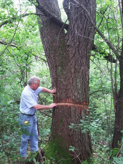 Burnsville Forester Dave Grommesch inspects a girdled tree in Terrace Oaks Park on June 21, 2017. (Courtesy of City of Burnsville)