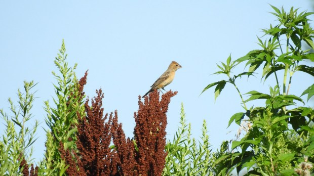 Both a male and female Blue Grosbeak are staying in Cottage Grove this year. (Courtesy of Ben Douglas)