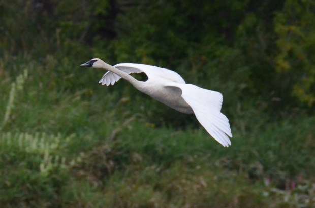 """Writes Jim Shumaker of New Richmond, Wis.: """"Incoming trumpeter swan, St. Croix County, Wisconsin."""""""