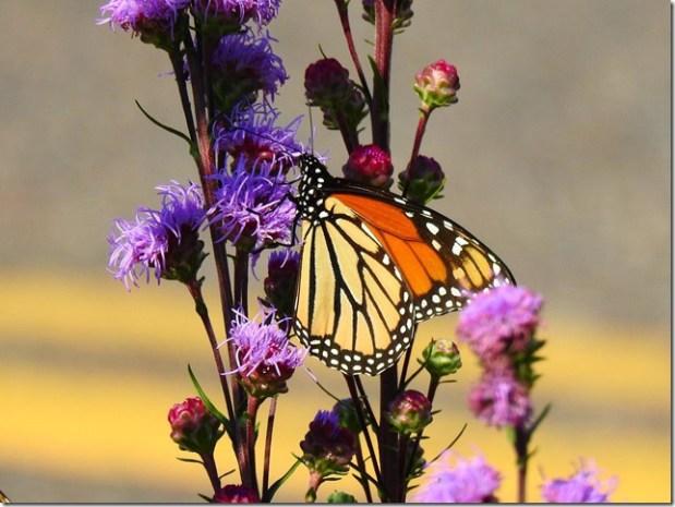 170821bbcut-monarch2