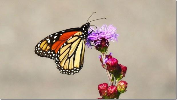 170821bbcut-monarch3