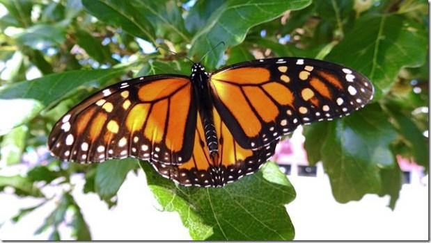 170821bbcut-monarch4