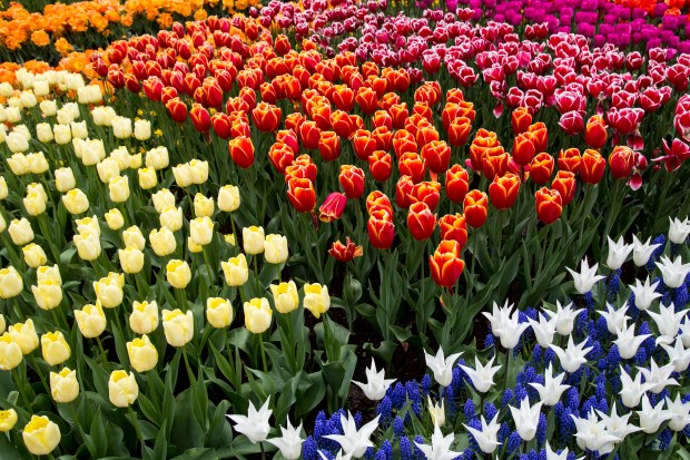 Flowers at Keukenhof, an impressive spring garden in Lisse, Netherlands, are seen May 4, 2017. Millions of flowers, including 800 varieties of tulips, are planted there every year. (Andy Rathbun / Pioneer Press)