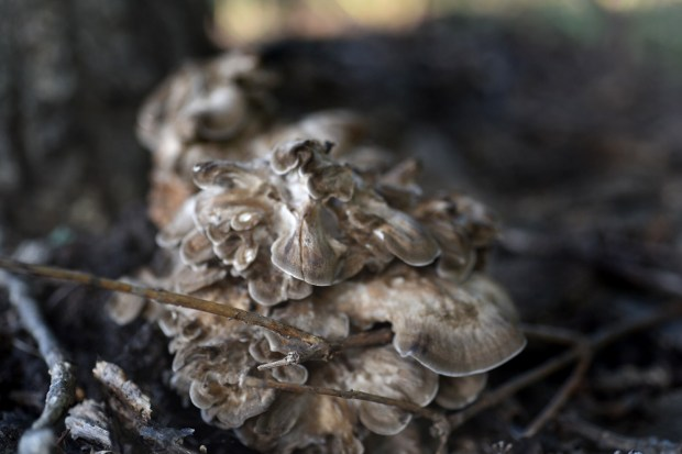 hen of the woods (maitake) mushroom