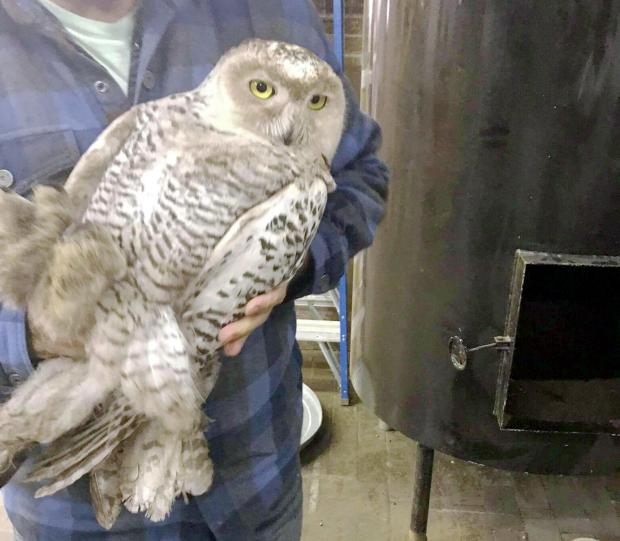 A snowy owl is seen after being rescued from inside a cooling system at Alakef Coffee Roasters in Duluth on Wednesday, Nov. 29, 2017. (Photo courtesy of Ezra Bennett)
