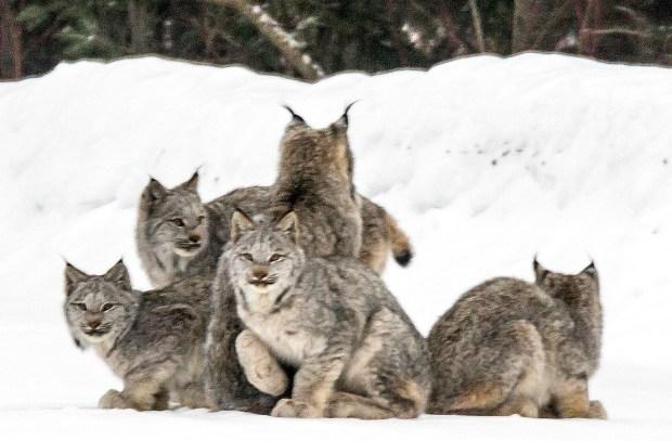 Lynx Family Stock Photo - Image: 45572193 |Lynx Cat Family