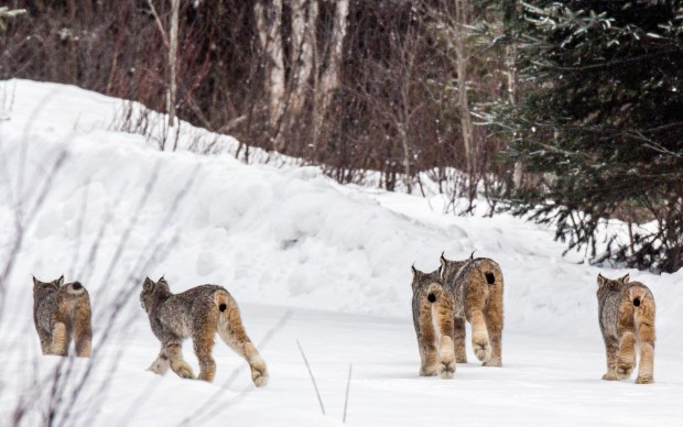 Five Canada lynx walk down a road near Tofte on Saturday morning, Feb. 3, 2018. Thomas Spence was looking for moose to photograph when he saw the lynx. (Photo courtesy Thomas Spence via Forum News Service)
