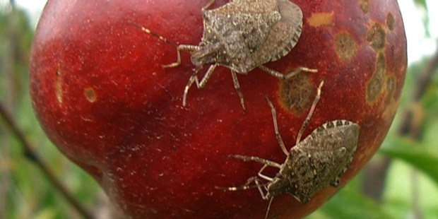 Brown marmorated stink bugs from Asia are wreaking havoc on fruits and other crops across parts of the U.S., including apples and vegetables. (U.S. Department of Agriculture photo)