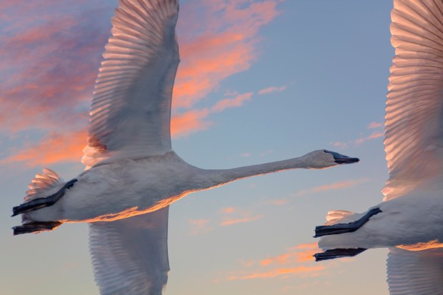 """""""Trumpeter swans, Hudson Wisconsin"""" is one of the photos from """"St. Croix and Namekagon Rivers: The Enduring Gift"""" by photographer Craig Blacklock. The book is a portrait of the rivers forming the St. Croix National Scenic Riverway, which was established 50 years ago by the Wild and Scenic Rivers Act. (Courtesy of Craig Blacklock)"""
