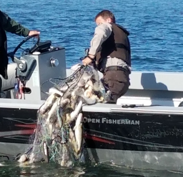 A conservation officer pulls an abandoned tribal gillnet full of dead walleye from Lake Mille Lacs Saturday, May 20, 2018. The net, registered to the Fond du Lac Band of Lake Superior Chippewa, was recovered by officers from an American Indian band and the Minnesota Department of Natural Resources. (Courtesy PERM, Proper Economic Resource Management)