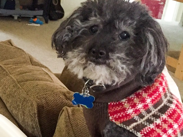 Pepper, a miniature poodle belonging to Jill Wilson of Roseville, was fatally attacked by a deer in June 2018. (Courtesy of Jill Wilson)