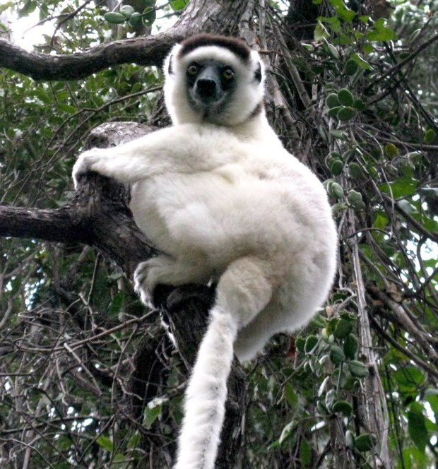 """Sifaka lemurs are known as """"dancing lemurs"""" because they appear to be prancing when they move across the ground. (Photo by Jeanine Barone for The Washington Post)"""