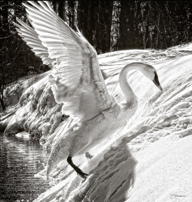 Dead trumpeter swans in Vadnais Heights had toxic lead levels, the U of M reports