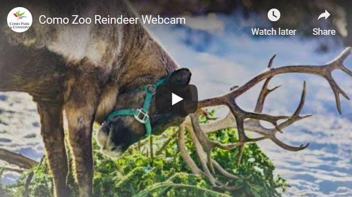 Como Zoo Reindeer Cam