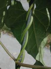 twining-vines