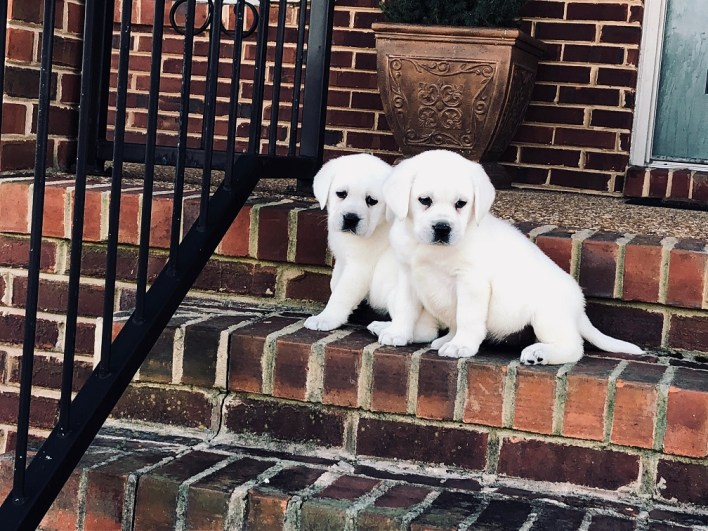 Snow White Lab Breeders Polar Bear Labs For Sale At Twin Ponds Labradors