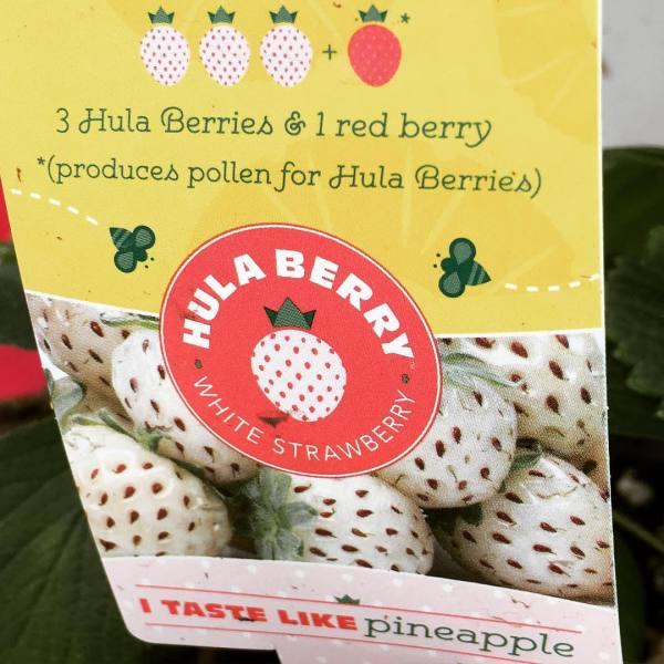 hula berries
