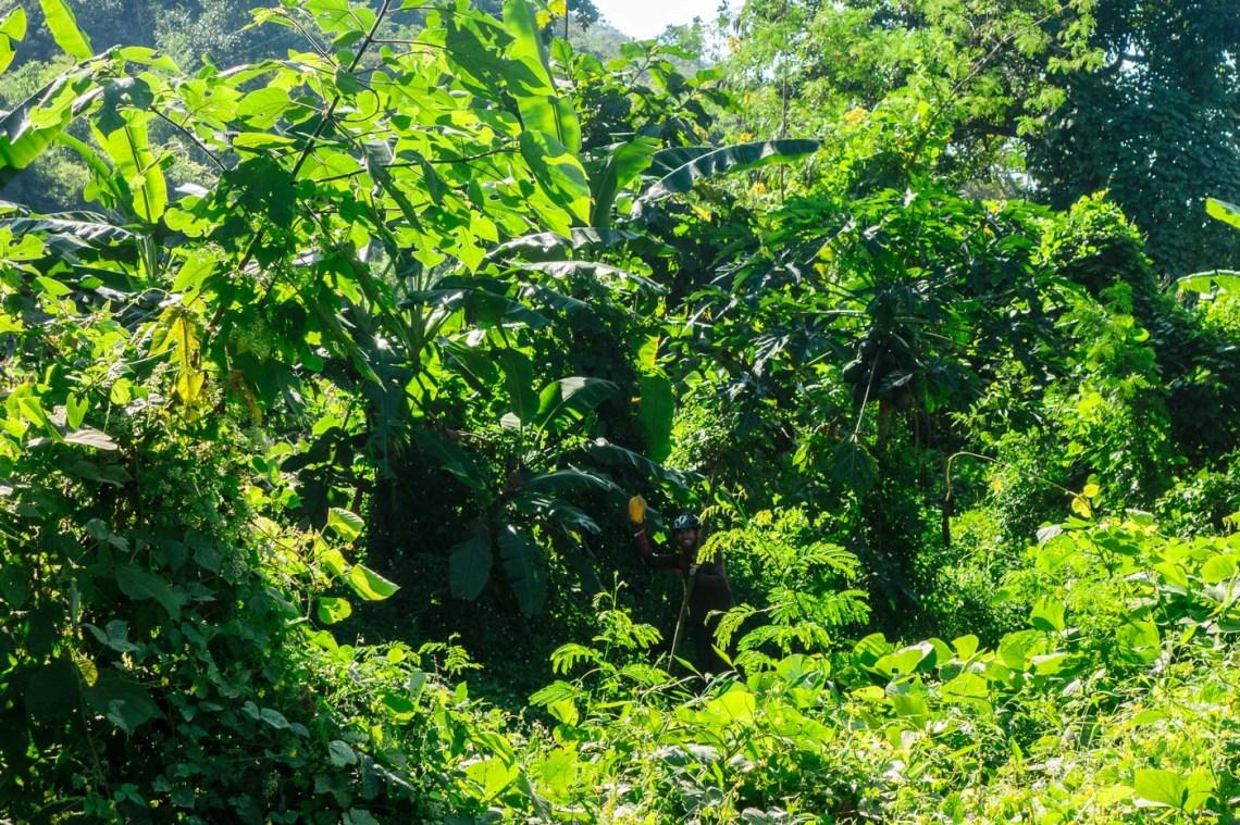 Papaya in the jungle