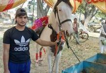Sindhi Horse