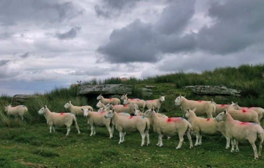Sheep Sittaford2