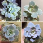 Water Water Everywhere Water Propagation Succulents
