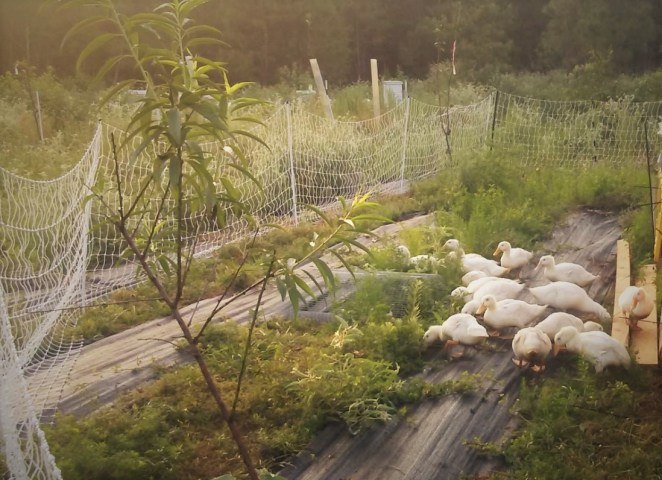 Peking Duck on pasture