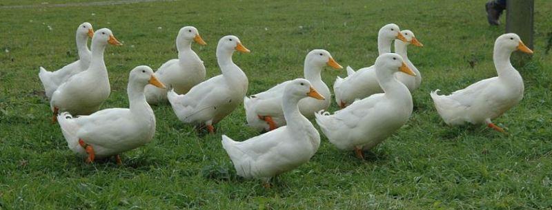 pastured duck