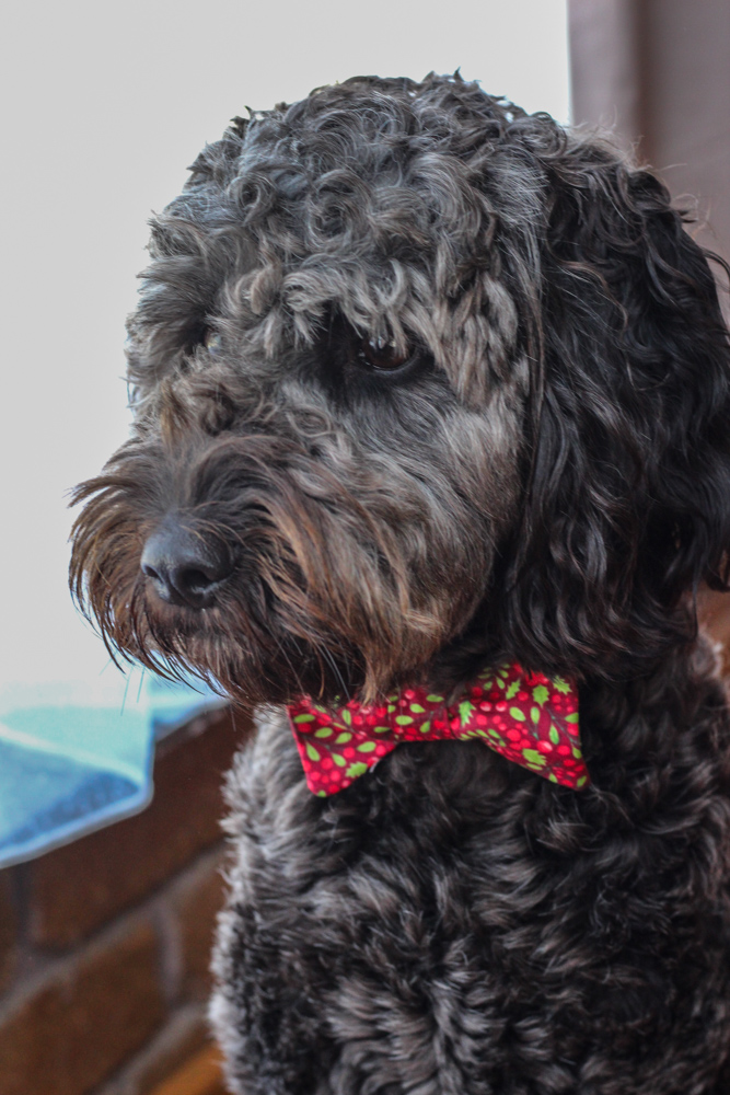 Ritchie Family Christmas Outfits Sammywise is wearing custom made Two Sewing Sisters bow tie dog collar.