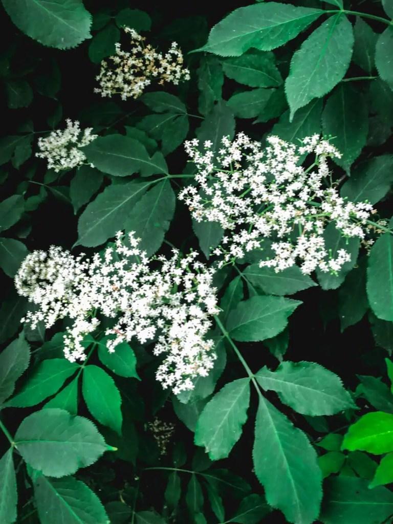 Elderflower bushes