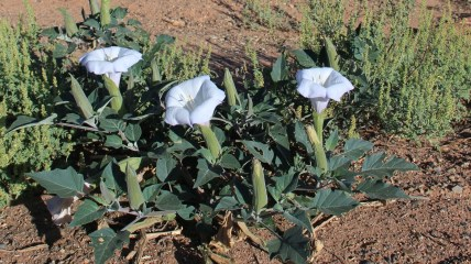 Moonflower – Datura Inoxia