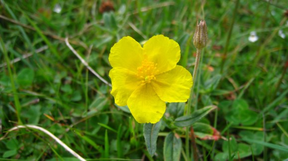 Bouton d'Or - Ranunculus