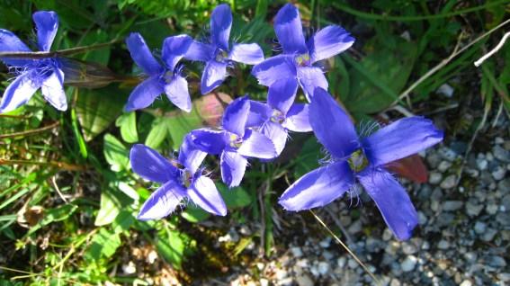 Gentiane Ciliée - Gentianopsis Ciliata