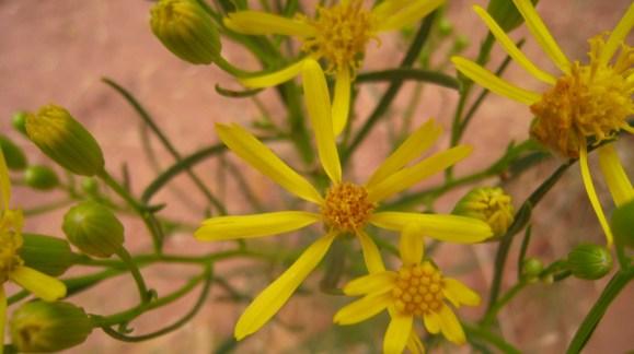 Broom-Like Ragwort - Senecio Spartioides
