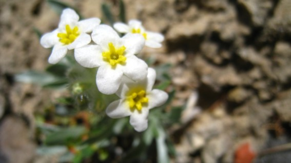 Yellow-eye Cryptanth - Cryptantha Flavoculata