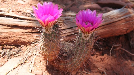 Fendler's Hedgehog Cactus - Echinocereus Fendleri