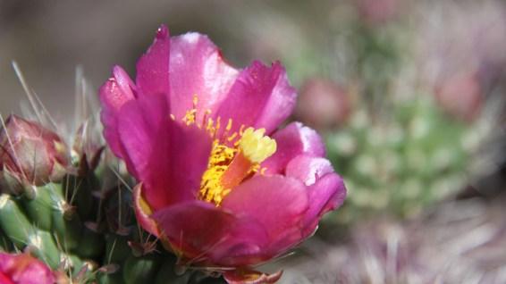 Cane Cactus - Cylindropuntia Imbricata