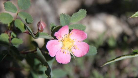 Dwarf Rose - Rosa Gymnocarpa