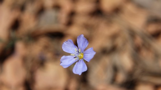 Blue Flax - Linum Perenne