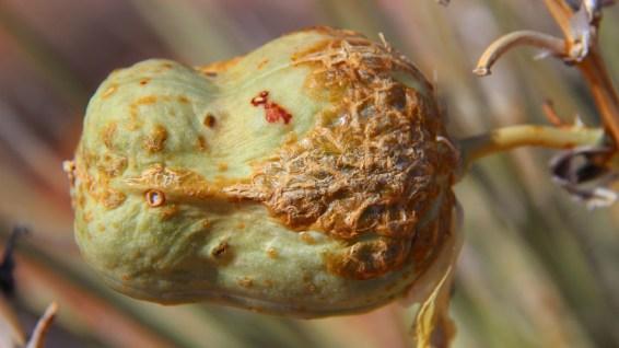 Yucca Fruit