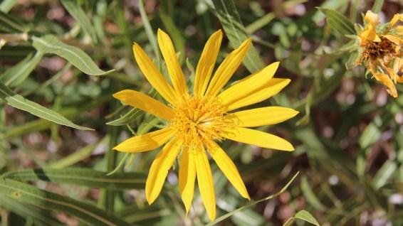 Broom Groundsel Plant - Senecio Spartioides