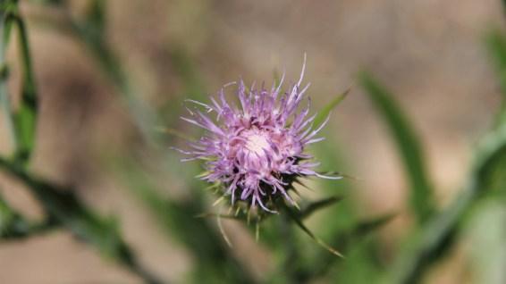 Canada Thistle - Cirsium Arvense
